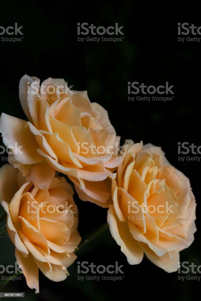 Roses soft orange stock photo