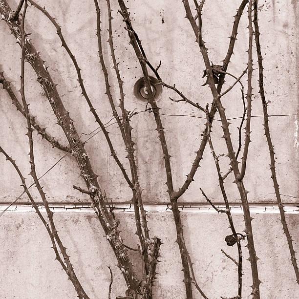 Roses stems bampw picture id185283138?b=1&k=6&m=185283138&s=612x612&w=0&h=ytc0jx0uwpwfneoktsfxodnafzkhbh0zzs2riogysmo=