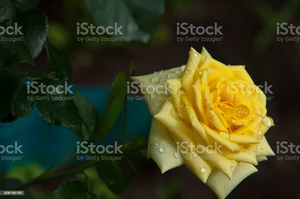 Roses. The plant with beautiful large fragrant flowers and the stem, usually covered with spines. stock photo