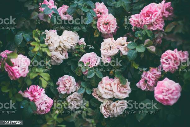 Roses wall picture id1023477334?b=1&k=6&m=1023477334&s=612x612&h=uoiokr7ws mfigt6szmdf hgrdsgm4vz5ic7aqbdho4=