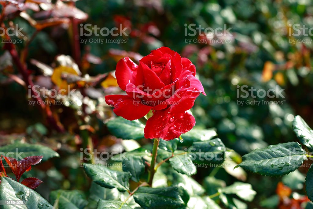 Roses wet mist stock photo