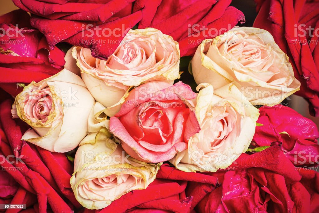 roses with background colors. - Royalty-free Backgrounds Stock Photo