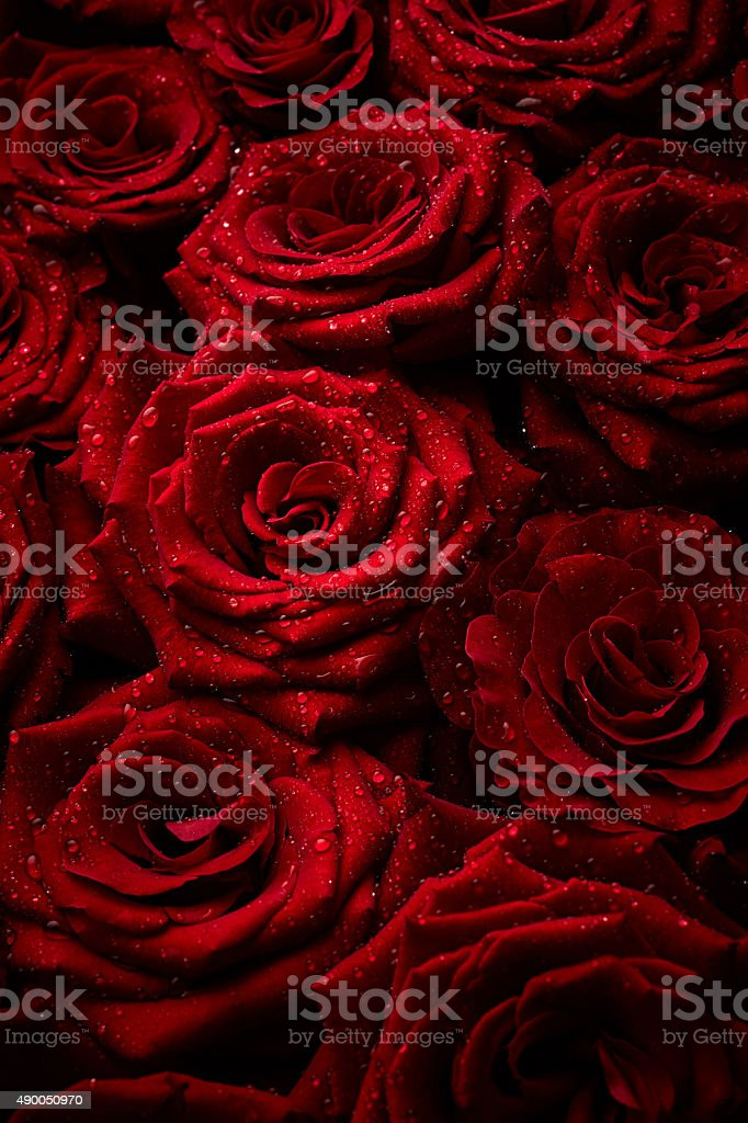 Roses with drops of water stock photo