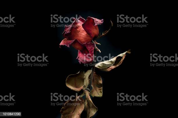 Roses withered on black ground picture id1010641200?b=1&k=6&m=1010641200&s=612x612&h=saq ywggqiavqj14 byu9yqumipghi9ewx3ytrudl78=