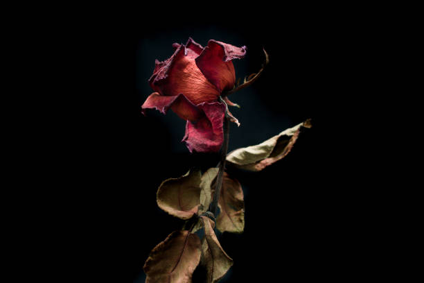 Roses withered on black ground. stock photo