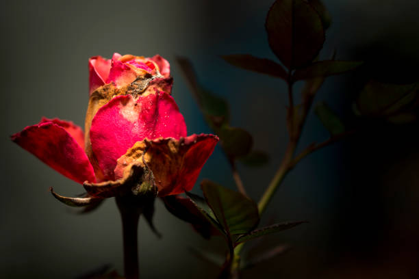 Roses withered on dark background stock photo