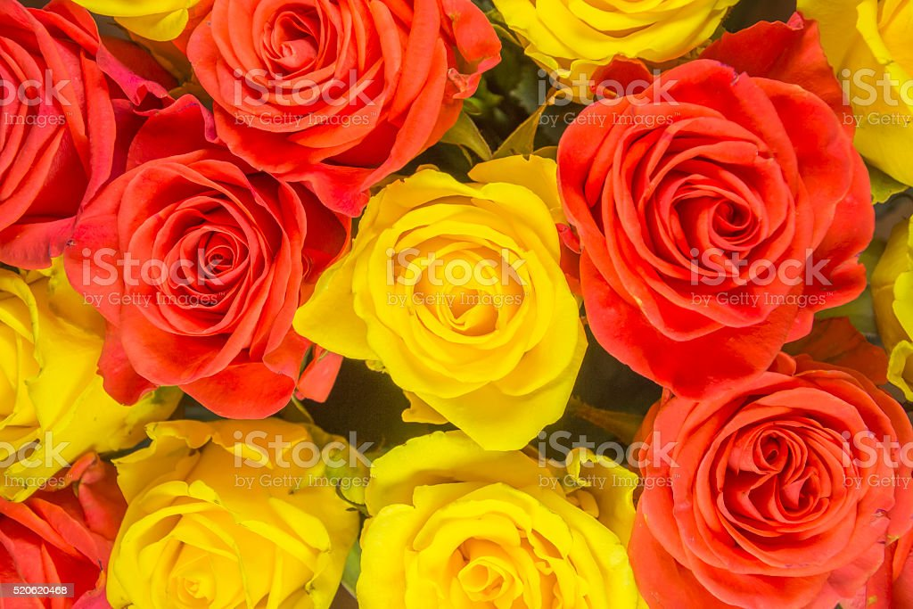 Roses - yellow background stock photo