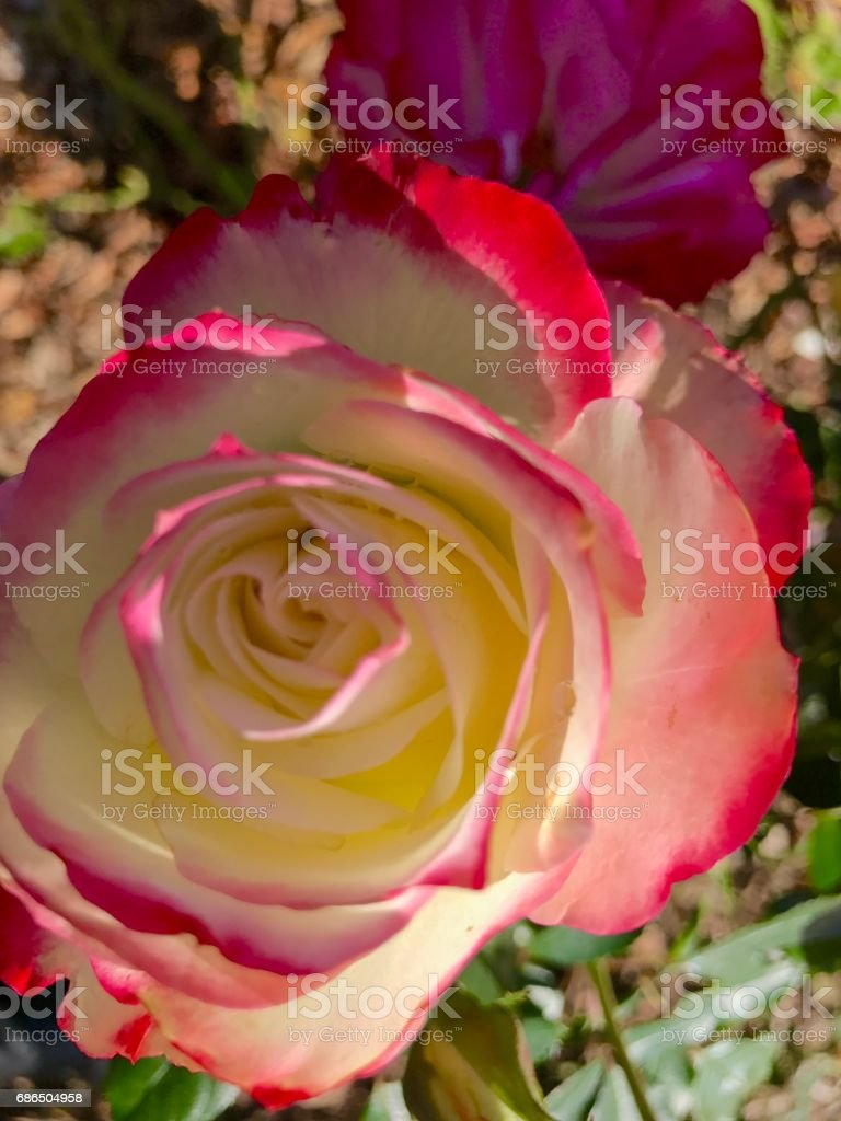 Roses,roses royalty free stockfoto
