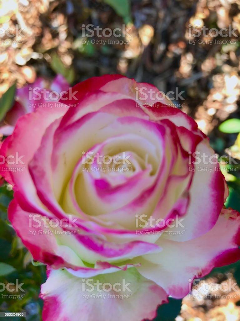 Roses,roses ロイヤリティフリーストックフォト