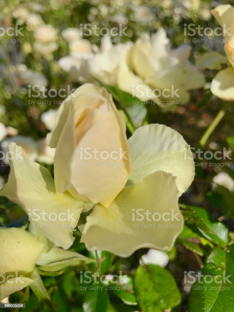 Roses,roses zbiór zdjęć royalty-free