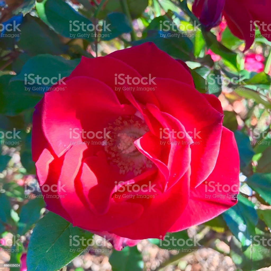 Roses,roses foto stock royalty-free