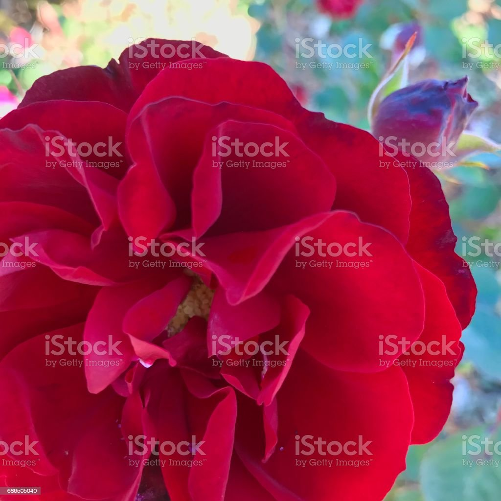 Roses,roses royalty-free stock photo