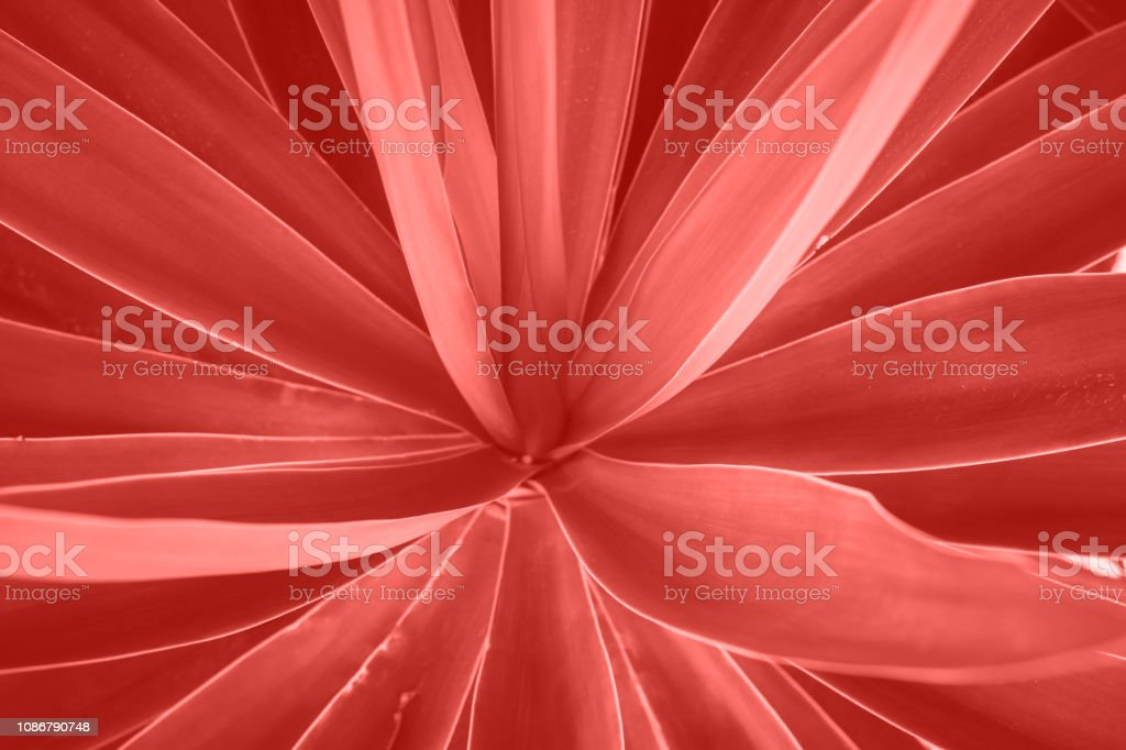 Rosette of palm tree leaves growing in flower shape. Beautiful natural geometrical pattern. Vibrant trendy living coral color. Tropical vacation fashion abstract background. Wallpaper Poster Template stock photo