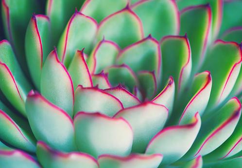 Rosetted succulent echeveria floral background