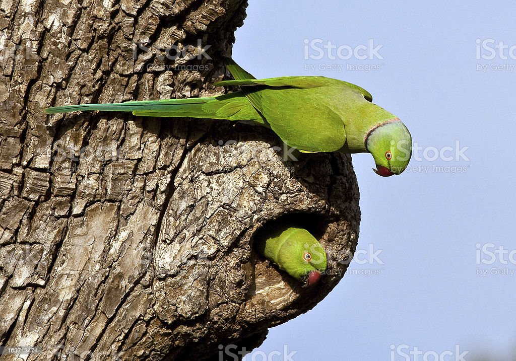 rose-winged parakeet pair nesting in tree cavity royalty-free stock photo
