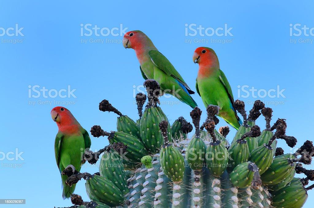 Rosey-faced Lovebirds On Saguaro Cactus, Agapornis roseicollis royalty-free stock photo