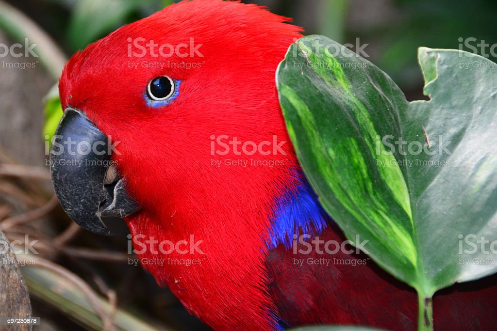Rosie The Red Eclectus Parrot Stock Photo - Download Image