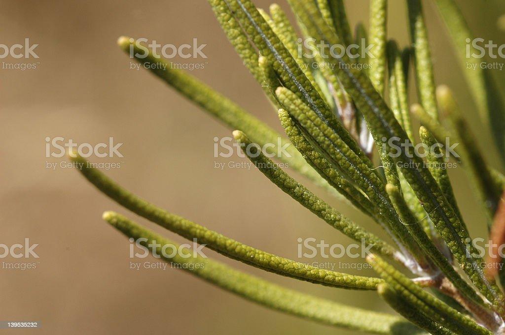 Rosmarinus officinalis royalty-free stock photo