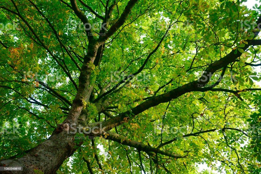 Rosskastanienbaum mit grünem Blätterdach stock photo