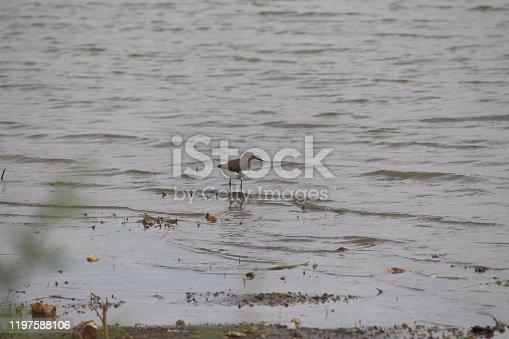 istock Rostratula or a snipe 1197588106