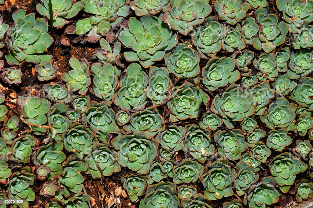 rosularia sempervivum stock photo