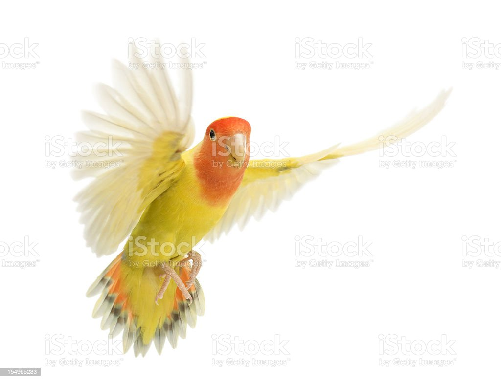 A rosy faced lovebird flying, agapornis roseicollis stock photo