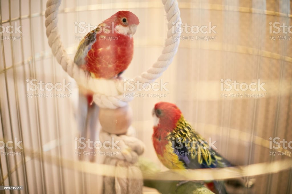 Rosy Faced Lovebird in a cage looking down stock photo