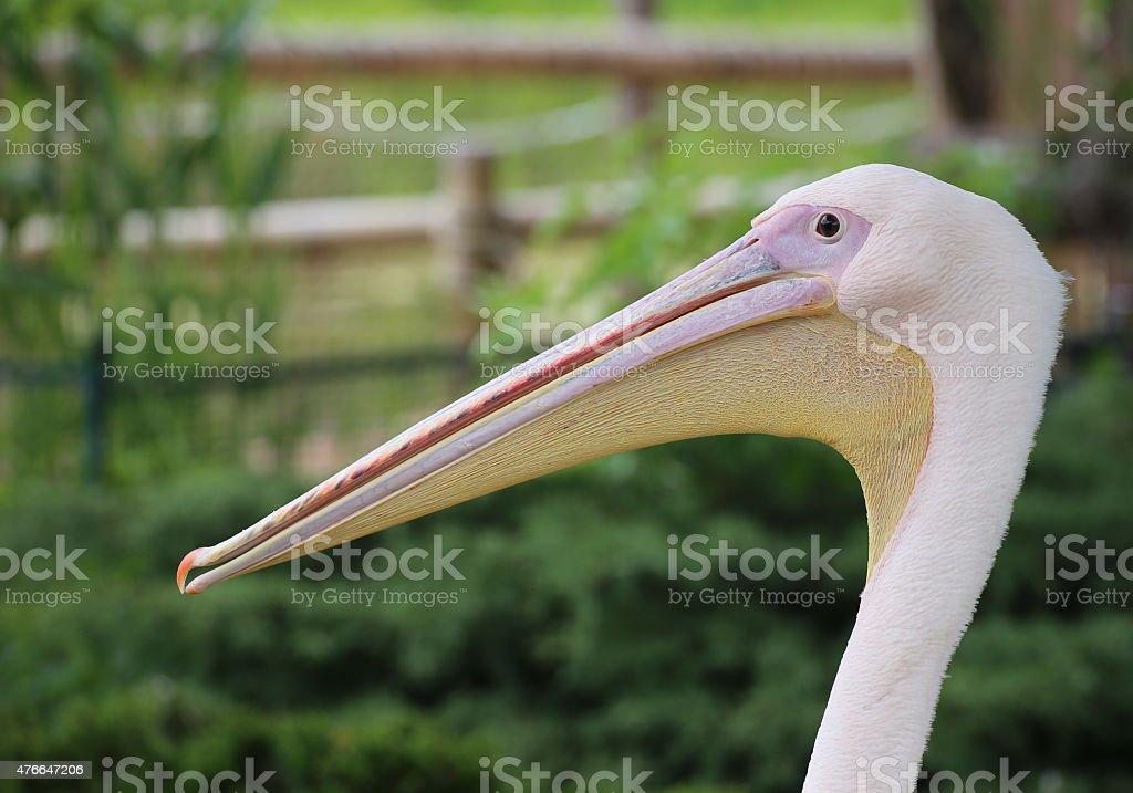 Rosy Pelican Portrait stock photo