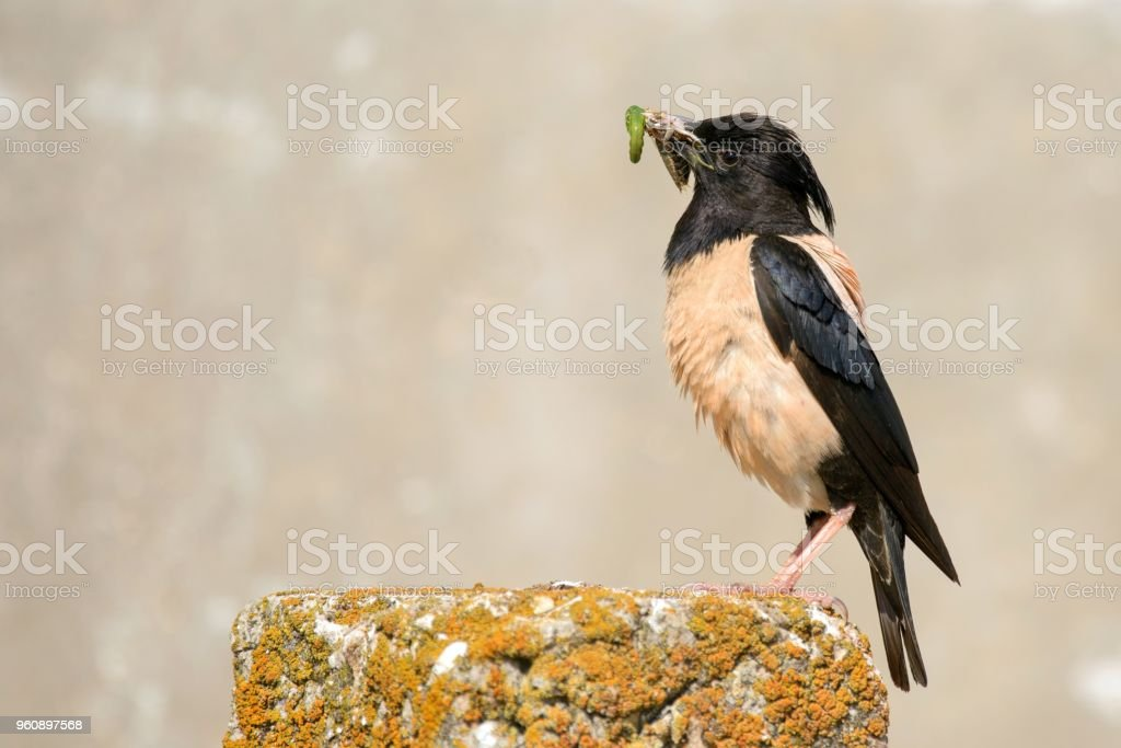 Rosy Starling with prey on a beautiful background stock photo