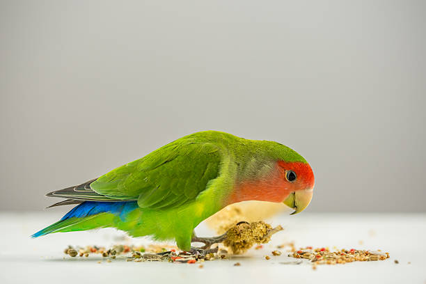 Rosy-faced lovebird eating scattered seeds stock photo