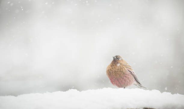 Rosy-finches bird seek out in winter. stock photo