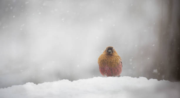Rosy-finches bird seek out in winter, the brown rosy-finch is found in the central Colorado mountains year-round. stock photo