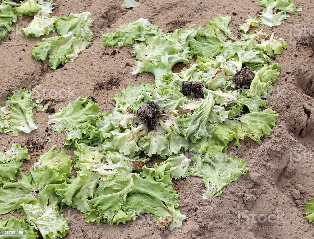 rot lattuce leaves abandoned polluted field stock photo