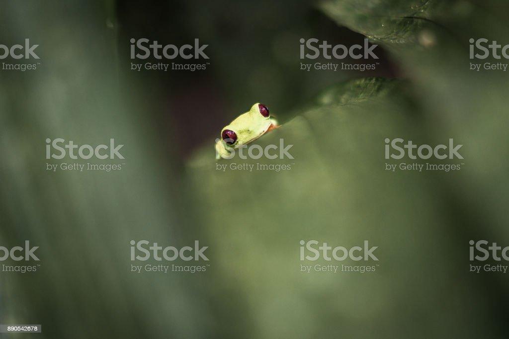 Rotaugen Laubfrosch in Costa Rica stock photo