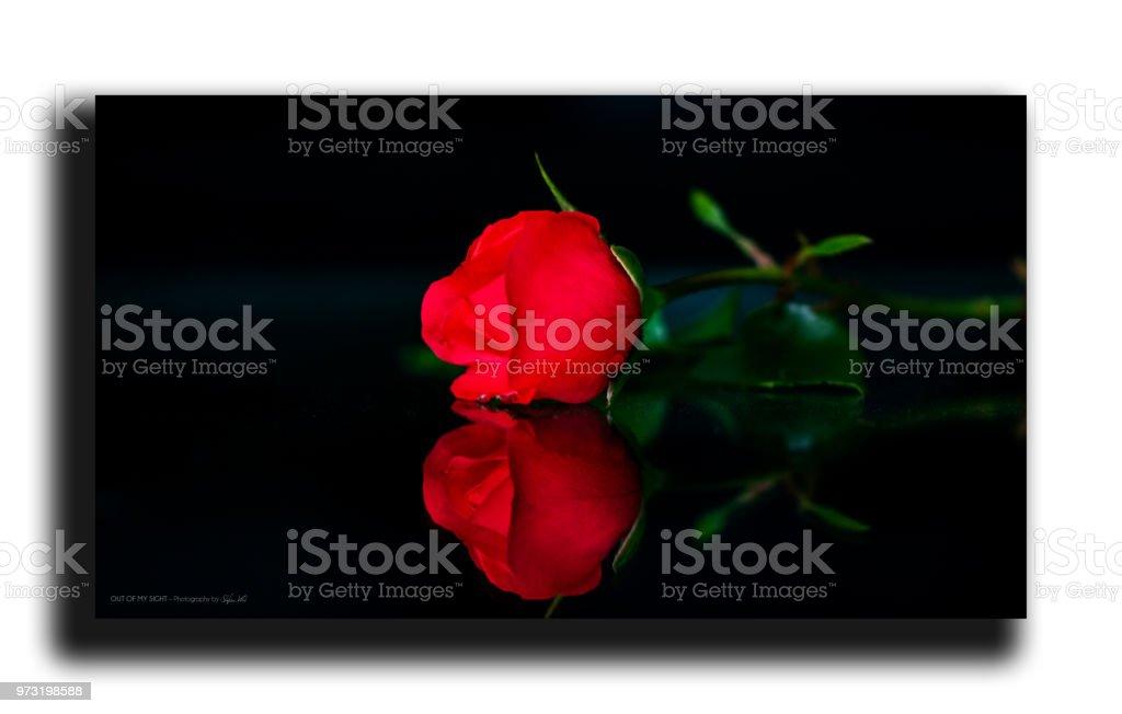 rote rose – Foto