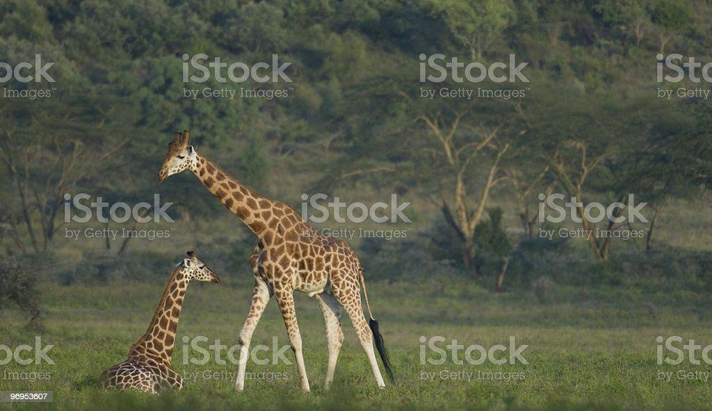Rothschild Giraffe (Giraffa camelopardalis rothschildi), Lake Nakuru, Kenya royalty-free stock photo