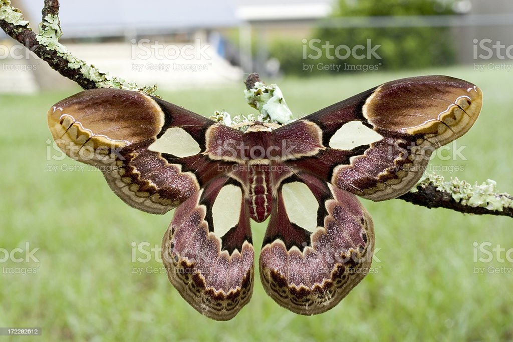 Rothschildia erycina Moth royalty-free stock photo