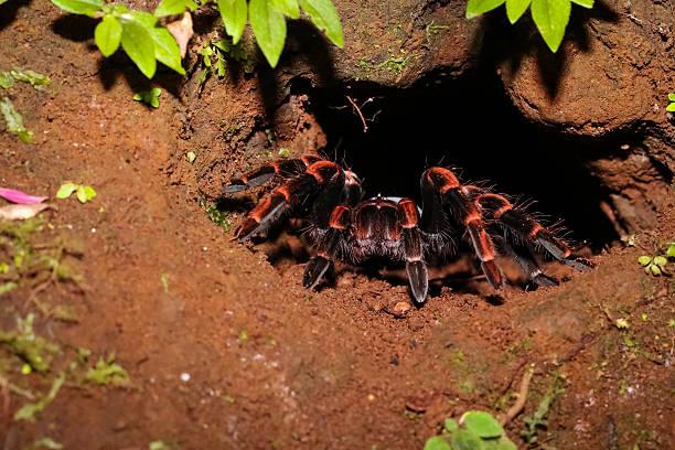 Rotknie Vogelspinne vor ihrer Höhle im Dschungel – Foto
