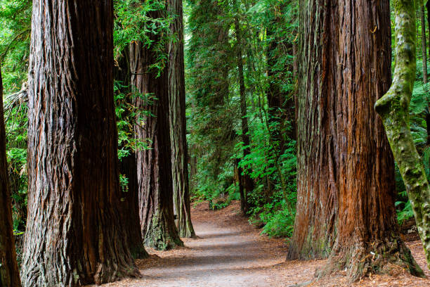Rotorua Redwoods Forest, New Zealand The Rotorua Redwoods Forest is a popular place for locals and tourists. It is very central to town and has many walking trails with varying length to suit all abilities. redwood tree stock pictures, royalty-free photos & images