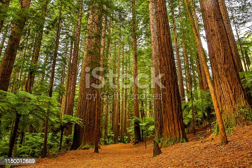Rotorua Redwoods Forest walk is a popular trail for tourists to walk. There are a number of different trails which can be walked ranging from 30 minutes to a full day.