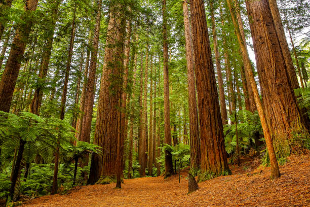 Rotorua Redwoods Forest Walk Rotorua Redwoods Forest walk is a popular trail for tourists to walk. There are a number of different trails which can be walked ranging from 30 minutes to a full day. redwood tree stock pictures, royalty-free photos & images