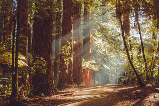 Early morning walking in the Rotorua Redwoods forest