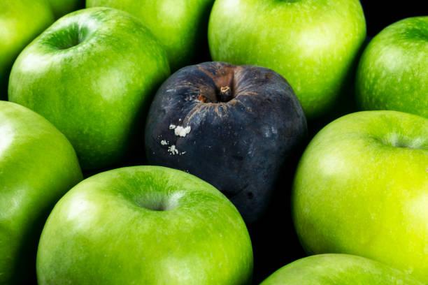 Rotten Apfel und frischer Apfel. Das Korruptionskonzept. Das Konzept der schlechten Menschen in der Gesellschaft. Rotten Apfel umgeben von frisch. – Foto