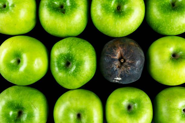Rotten apple and fresh apple. The Corruption concept. The concept of bad people in society. Rotten apple surrounded by fresh. stock photo