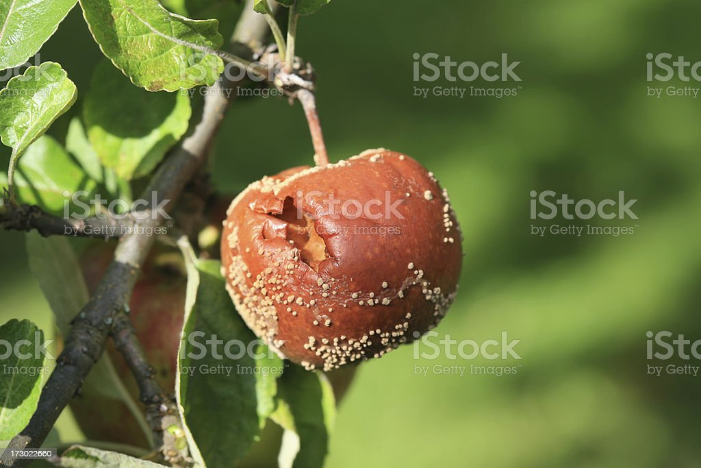 Rotten Apple  Hanging in The Sun royalty-free stock photo