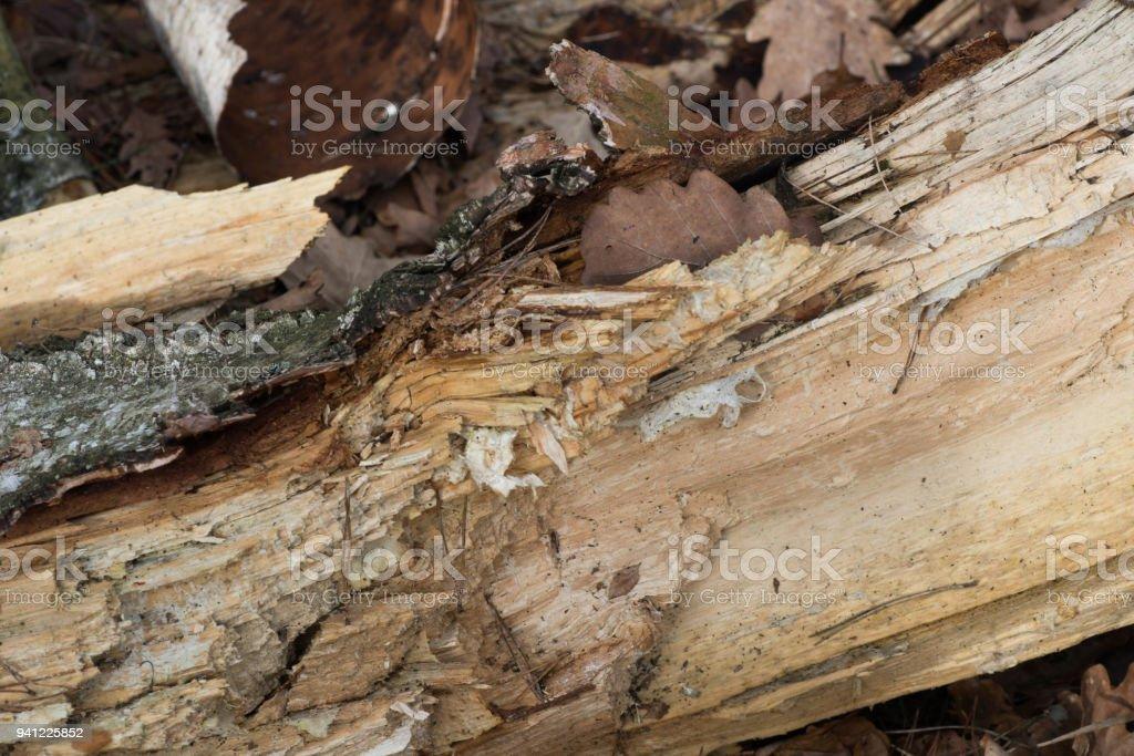 rotten birch tree closeup stock photo