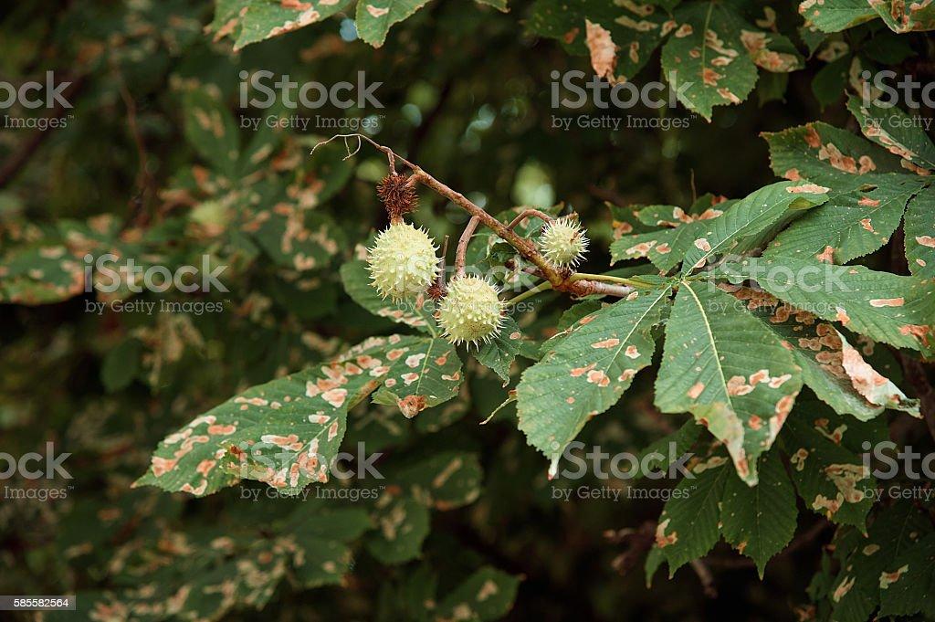 Rotten Chestnut Tree Leaves stock photo