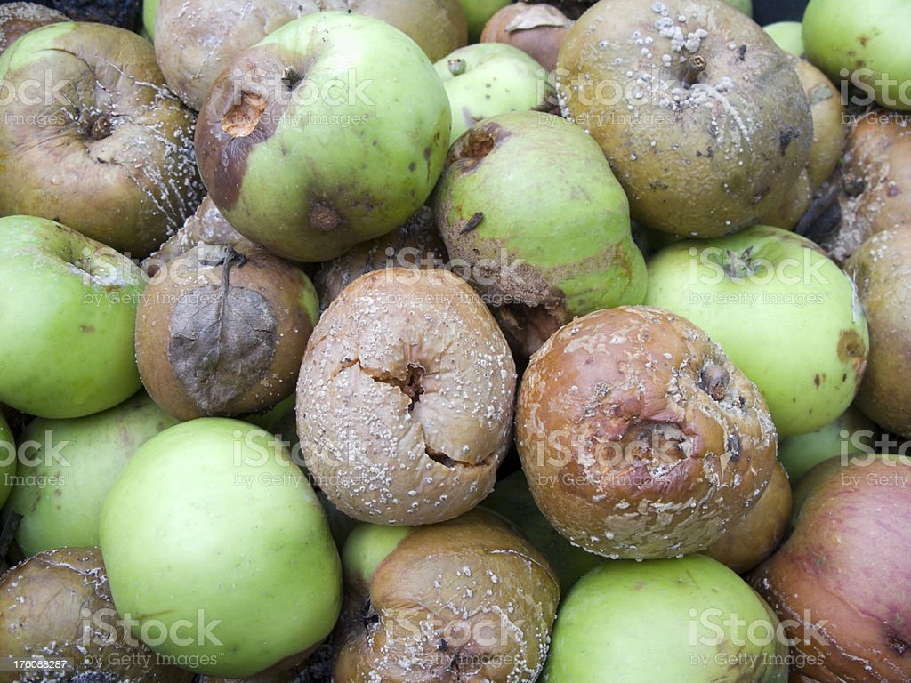 Rotten cooking apples 2 royalty-free stock photo
