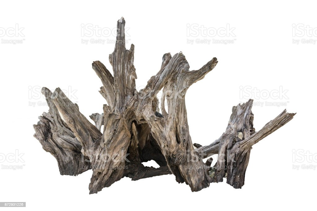 Rotten Dead Tree Trunk, Old Wooden Decay Isolated On White Background stock photo