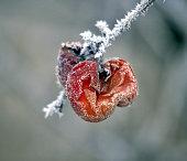rotten frozen apple forgotten on a tree, winter concept image